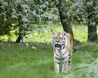 a siberian tiger Stock Images