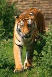 Siberian Tiger. Walking stock photo
