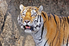 Siberian Tiger. Close-up portrait of a Siberian Tiger standing in the water royalty free stock images