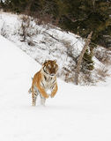Siberian Tiger. Running in winter snow Stock Photography