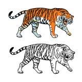 Siberian tiger royalty free illustration