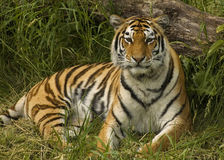 Siberian Tiger. A siberian tiger relaxing in the grass royalty free stock photography