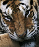 Siberian Tiger. A Tigers snarling face and front paw stock photography