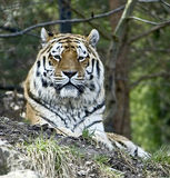 Siberian tiger 3 Royalty Free Stock Images