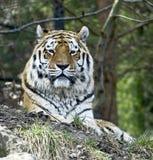 Siberian tiger 3. Siberian tiger. Latin name - Panthera tigris altaica Royalty Free Stock Images