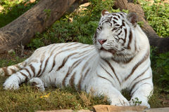 Siberian tiger 3. Siberian tiger in Moscow zoo at autumn Royalty Free Stock Images