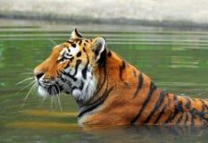 Free Siberian Tiger Royalty Free Stock Photo - 39005125