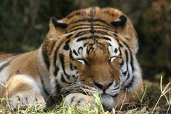 Siberian Tiger. One of only 250 Siberian tigers left in the world. Photo shot at the Pittsburgh Zoo Stock Photography
