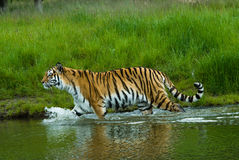 Free Siberian Tiger Royalty Free Stock Photo - 5339285