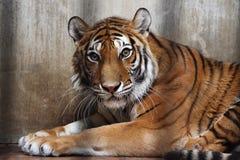siberian tiger Fotografering för Bildbyråer
