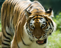 Free Siberian Tiger Royalty Free Stock Images - 5969879