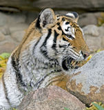 Siberian tiger 6 Royalty Free Stock Photos