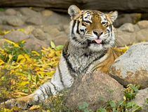 Siberian tiger 7 Royalty Free Stock Images