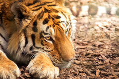 siberian tiger royaltyfri foto