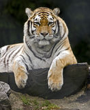 Siberian tiger 8 Royalty Free Stock Photo