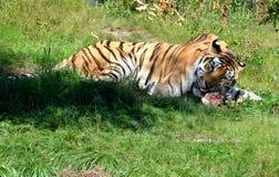 siberian tiger Arkivfoton