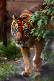 siberian tiger royaltyfri bild