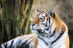 Siberian tiger in afternoon sunlight Royalty Free Stock Images