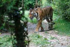 Siberian tiger along a path in the forest Royalty Free Stock Photo