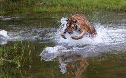 Siberian Tiger or Amur stock images