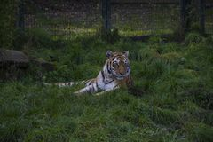 Siberian tiger or Amur tiger Panthera tigris altaica. Sitting in the grass Stock Photo