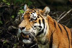 Siberian Tiger,  Amur Tiger Stock Images