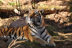 Siberian Tiger or Amur tiger lying in woods Royalty Free Stock Image