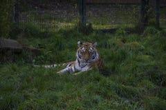 Siberian tiger or Amur tiger Panthera tigris altaica. Sitting in the grass Stock Image