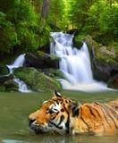 Siberian Tiger Stock Photo