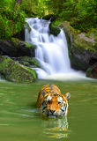 Siberian Tiger. Big Siberian Tiger in water Royalty Free Stock Photos