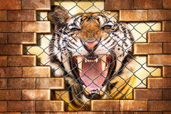 Siberian tiger in cage Stock Image