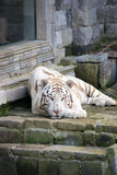 Siberian tiger. Chilling Siberian tiger enjoying his day royalty free stock image
