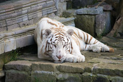 Siberian tiger. Chilling Siberian tiger enjoying his day stock photo