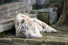 Siberian tiger. Chilling Siberian tiger enjoying his day stock images