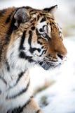 Siberian Tiger Close Up Stock Photos