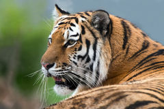 Siberian Tiger. Close up against a background of blurred foliage Royalty Free Stock Photography