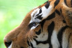 Siberian tiger close up Stock Photography