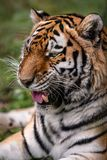Siberian tiger. stock photos