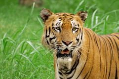 Siberian tiger closeup Stock Photography