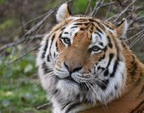 Siberian Tiger in Colour stock photos