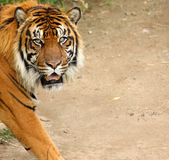Siberian Tiger with Copy Space Royalty Free Stock Images