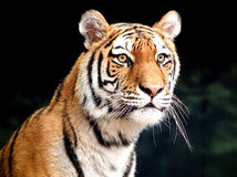Siberian Tiger Cub Stock Image