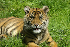 Siberian Tiger Cub Stock Photography