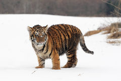 Siberian Tiger cub. In Snow Stock Photos
