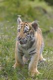 Siberian Tiger Cub Stock Photo