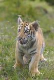 Siberian Tiger Cub Stock Photo