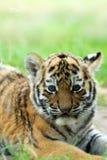 Siberian tiger cub. Cute siberian tiger cub (Tiger Panthera tigris altaica royalty free stock images