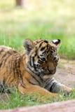 Siberian tiger cub. Cute siberian tiger cub (Tiger Panthera tigris altaica royalty free stock photo