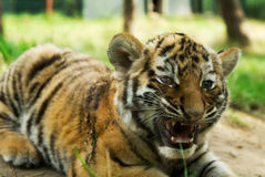 Siberian tiger cub Stock Images
