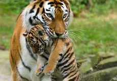 Siberian tiger with cub Royalty Free Stock Images